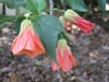 "Abutilon x hybridum"" Orange Maria"""